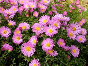 Астра кустарниковая многолетняя розовая (Aster Dumosus)