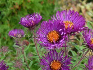 Астра новоанглийская фиолетовая (Aster Novae-angliae) © Blumgarden.ru