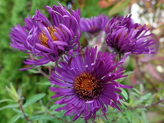 Астра новоанглийская фиолетовая (Aster Novae-angliae)