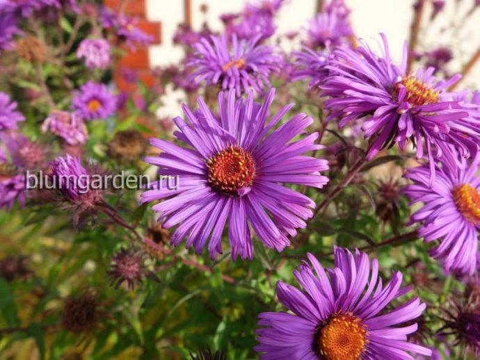 Астра новоанглийская светло-фиолетовая (Aster novae-angliae) © blumgarden.ru