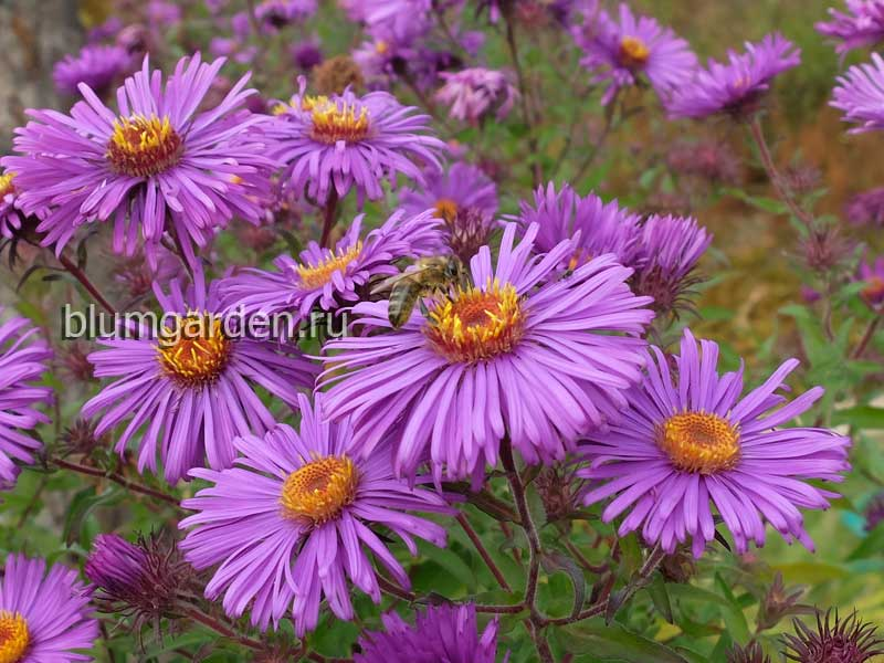 Астра новоанглийская светло-фиолетовая (Aster Novae-angliae)