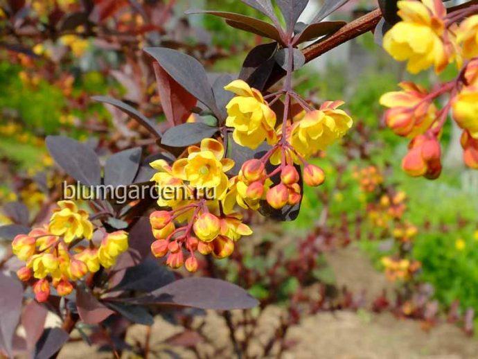 Цветки барбариса пурпурнолистного (Berberis) © blumgarden.ru