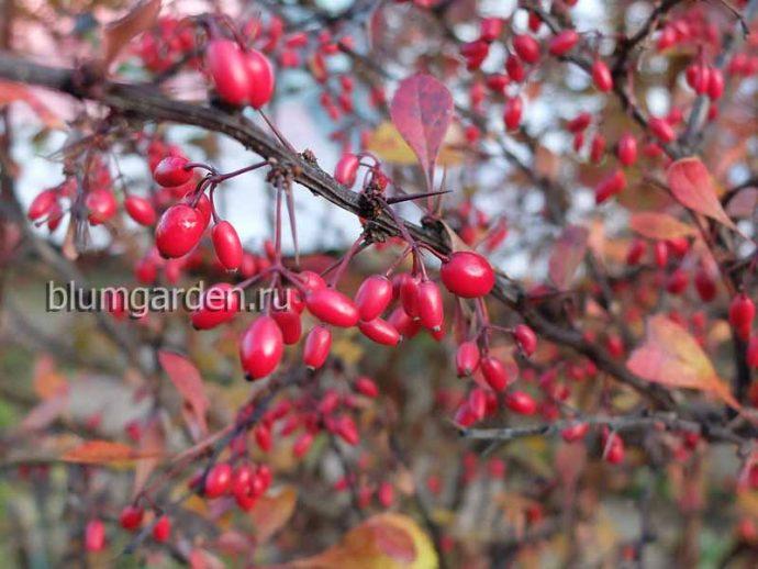 Плоды барбариса пурпурнолистного (Berberis) © blumgarden.ru