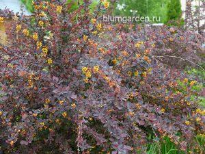 Барбарис обыкновенный пурпурнолистный (Berberis Vulgaris)