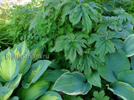 Декоративно-лиственные растения © blumgarden.ru
