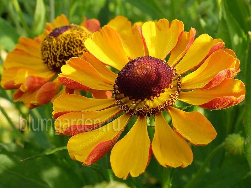 Гелениум осенний Раухтопаз (Helenium autumnale Rauchtopas) © blumgarden.ru