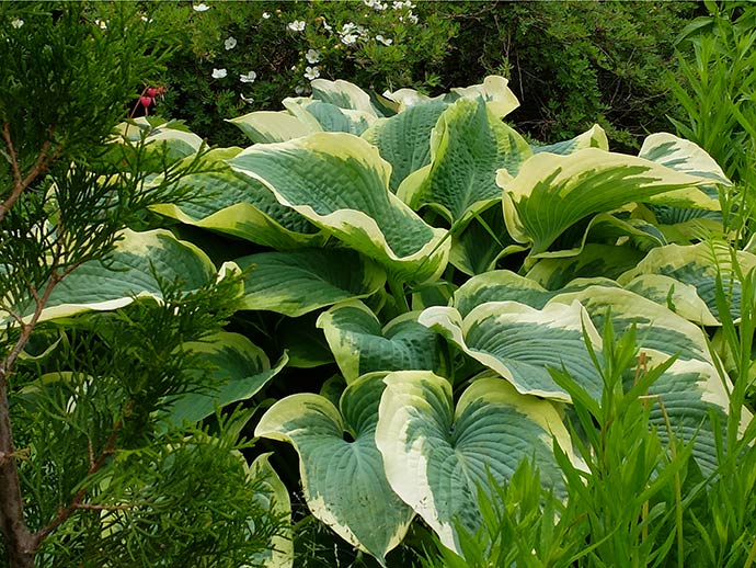Хоста «Норзен Хало» (Hosta Northern Halo)