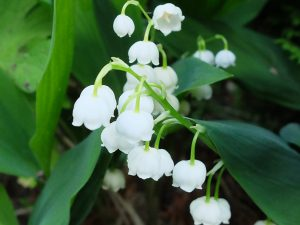 Ландыш садовый (Convallaria)