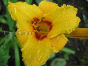 Лилейник Литтл Пол (Hemerocallis Little Paul) © Blumgarden.ru