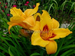 Лилейник «Литтл Пол» (Hemerocallis Little Paul)