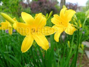 Лилейник ранний желтый