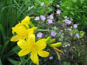 Лилейник желтый ранний © Blumgarden.ru