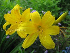 Лилейник желтый ранний