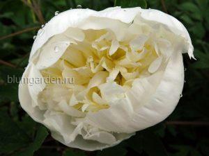 Пион «Дюшес де Немур» (Duchesse De Nemours)