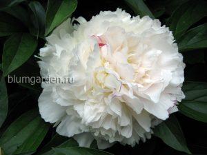 Пион «Фестива Максима» (Paeonia Festiva Maxima)