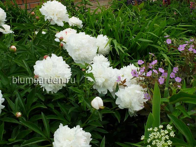Пион Фестива Максима в саду с геранью Элизабет Энн © blumgarden.ru