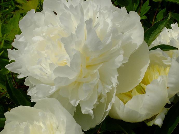 Пион молочноцветковый «Дюшес де Немур» (Paeonia Duchesse De Nemours)