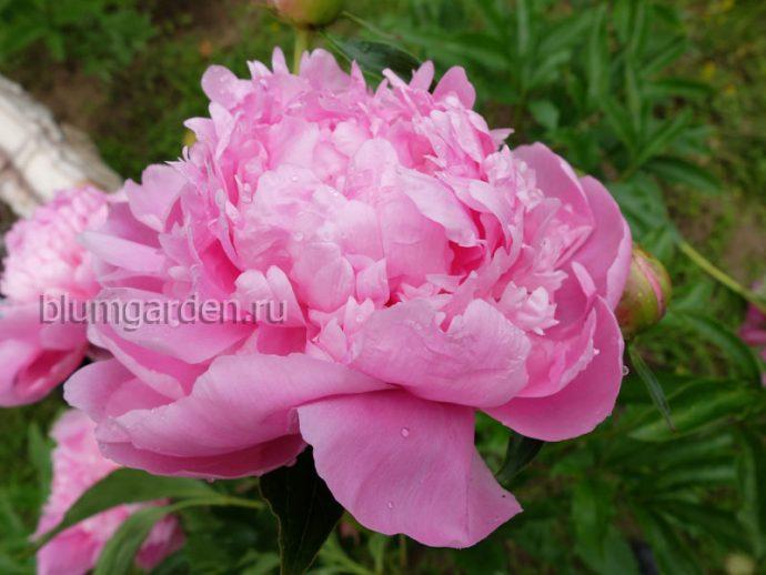 Пион молочноцветковый «Мсье Жюль Эли» (Paeonia lactiflora Monsieur Jules Elie) © blumgarden.ru