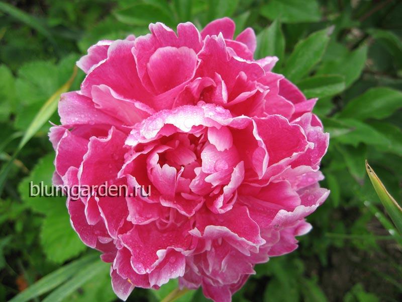 Пион молочноцветковый «Синбад» (Paeonia lactiflora Sinbad) © blumgarden.ru