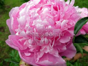 Пион молочноцветковый «Мсье Жюль Эли» (Paeonia Lactiflora Monsieur Jules Elie)