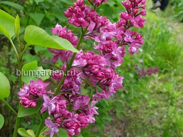 Сирень обыкновенная «Шарль Жоли» (Syringa vulgaris Charles Joly) © blumgarden.ru
