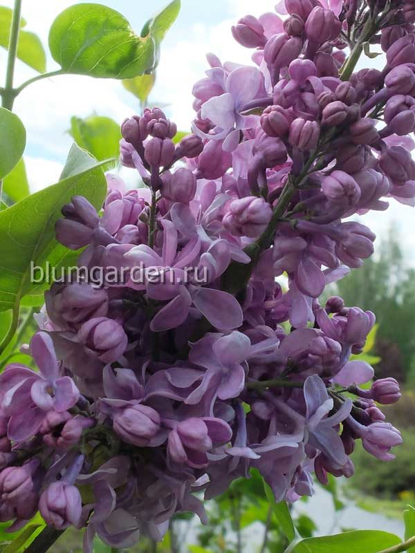 Сирень «Найт» (Syringa vulgaris Night) © blumgarden.ru