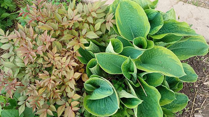 Травянистые растения для сада хоста и астильба © blumgarden.ru