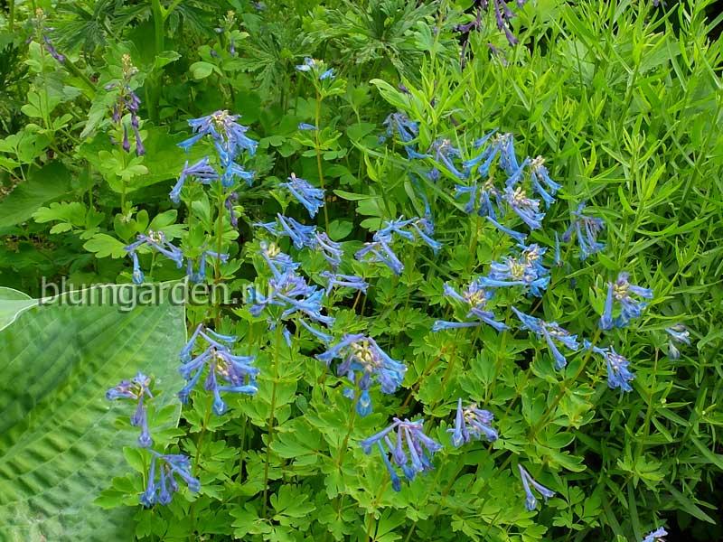 Хохлатка высокая синяя (corydalis elata) © blumgarden.ru