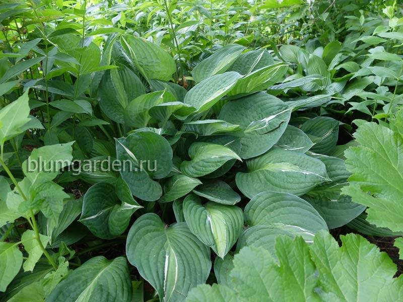 Хоста Стриптиз (Hosta Striptease) © blumgarden.ru