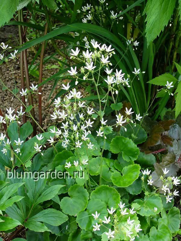 Камнеломка круглолистная (Saxifraga rotundifolia) © blumgarden.ru