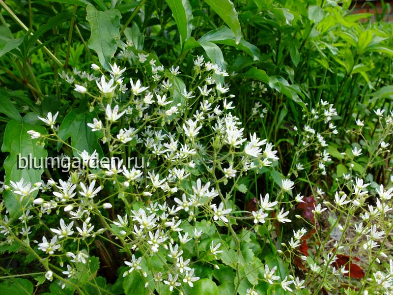 Камнеломка круглолистная (Saxifraga Rotundifolia)