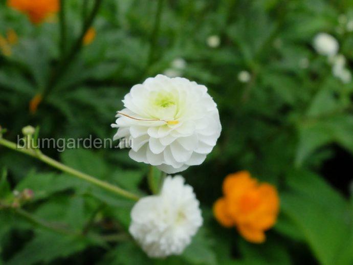 Лютик махровый с белыми цветками © blumgarden.ru