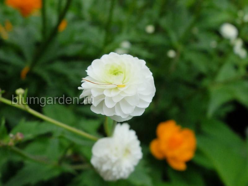 Лютик аконитолистный Pleniflorus (Ranunculus aconitifolius) © blumgarden.ru