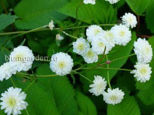 Белый цветник - Лютик аконитолистный Flore Pleno © blumgarden.ru