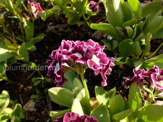 Примула ушковая (Primula auricula) © blumgarden.ru