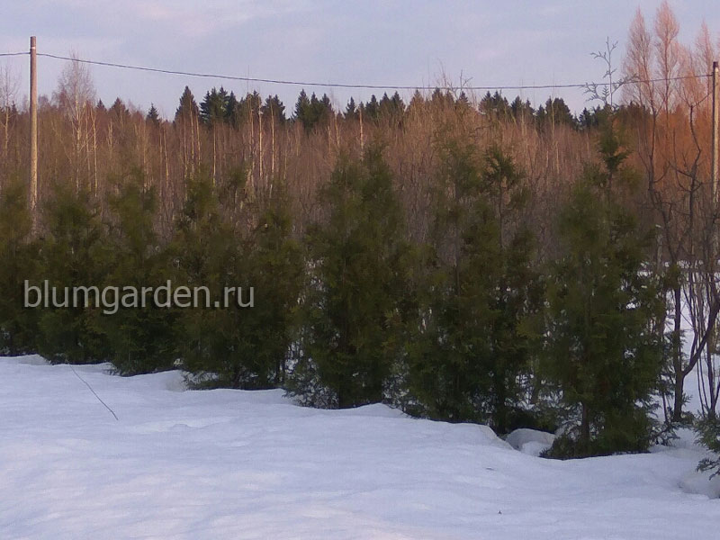 Туя западная Брабант (Thuja occidentalis Brabant) © blumgarden.ru