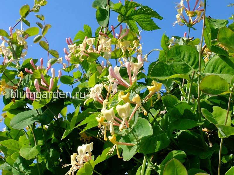 Вьющиеся растения - жимолость каприфоль © blumgarden.ru