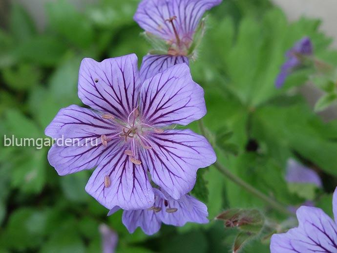 Герань гибридная «Стефания» (Geranium Hybridum Stephanie)