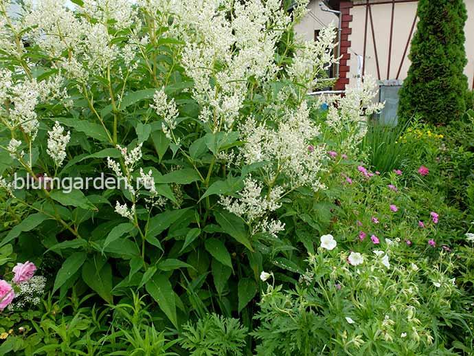 Горец полиморфа и герани в саду © blumgarden.ru