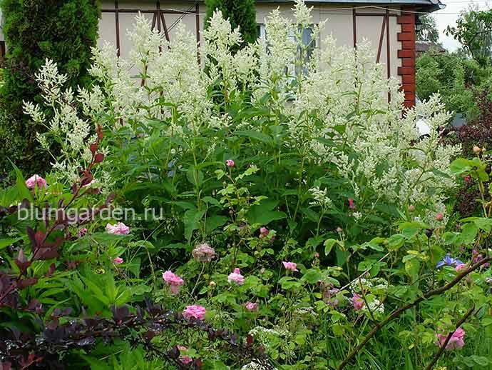Горец изменчивый в саду с розами © blumgarden.ru