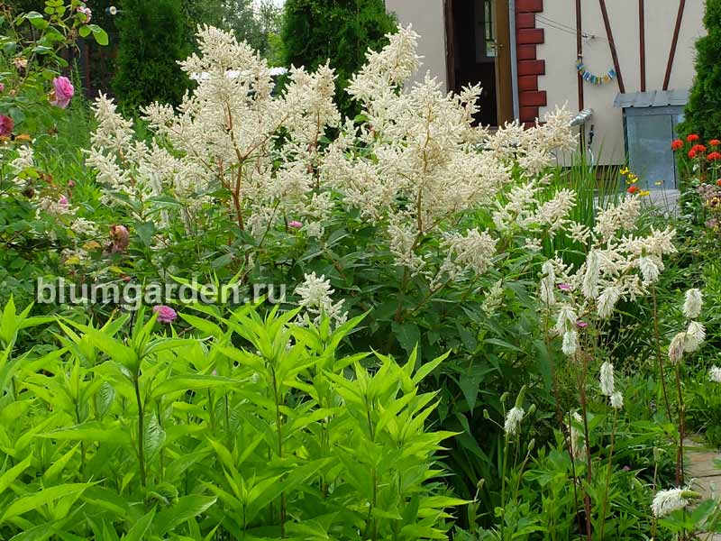 Горец изменчивый (Polygonum polymorpha) © blumgarden.ru