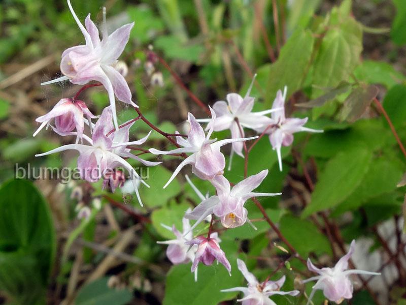 Горянка крупноцветковая (Epimedium Grandiflorum Akebono)