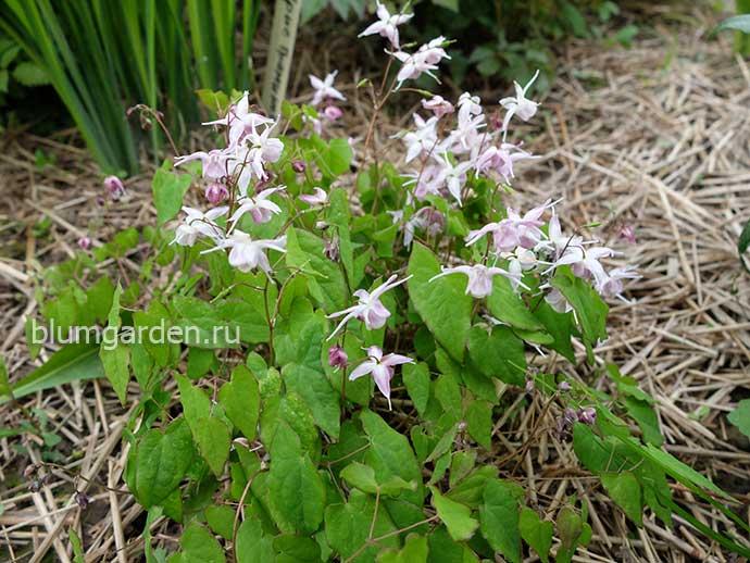 Горянка крупноцветковая (Epimedium grandiflorum Akebono) © blumgarden.ru
