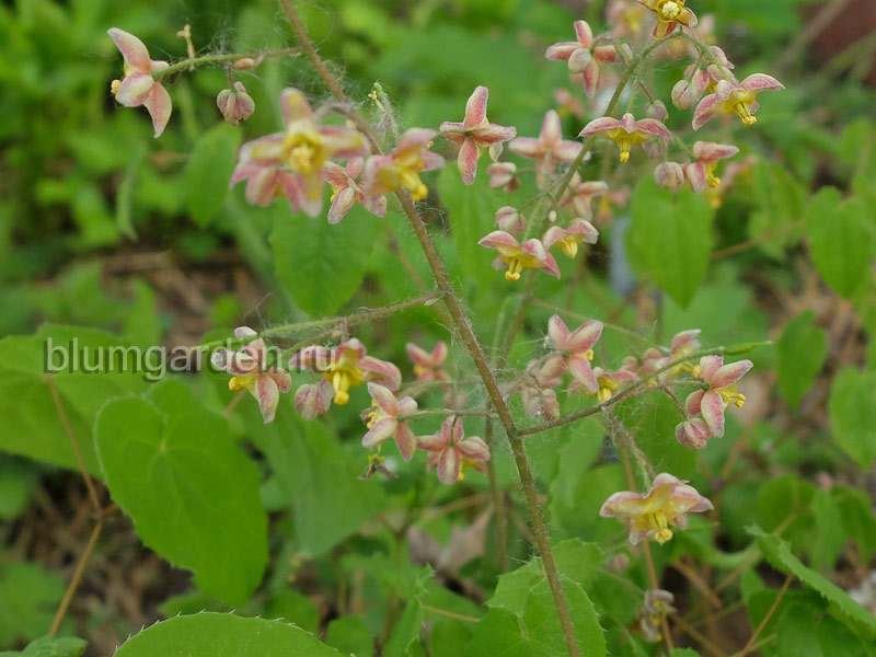 Горянка варлийская Оранж Кенигин (Epimedium warleyense Orange konigin) © blumgarden.ru