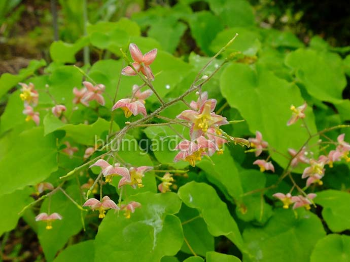 Горянка варлийская Оранж Кенигин (Epimedium Warleyense Orange Konigin)