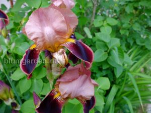 Ирис бородатый Бразье (Iris Hybrida Brasier) © Blumgarden.ru