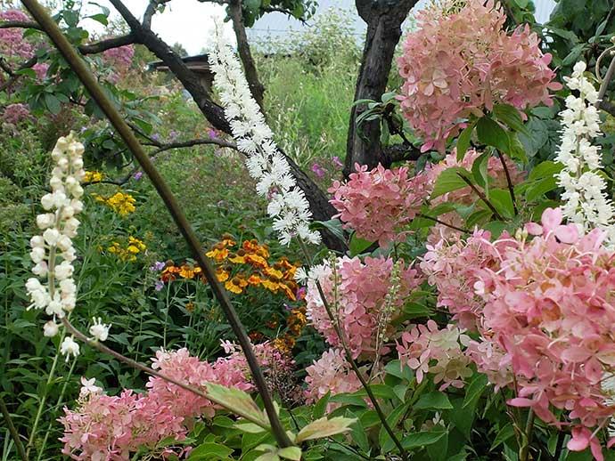 Клопогон ветвистый (кистевидный) и гортензия метельчатая розовая в саду © blumgarden.ru
