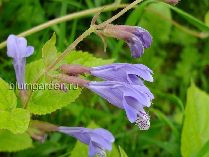 Михения крапиволистная (Meehania urticifolia) © blumgarden.ru
