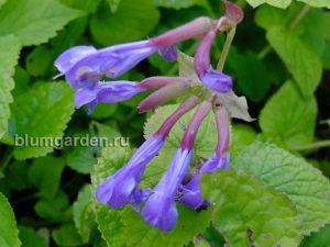 Михения крапиволистная (Meehania Urticifolia)