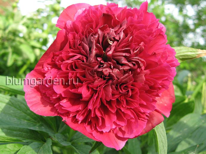 Пион лекарственный «Рубра Плена» (Paeonia Officinalis Rubra Plena)